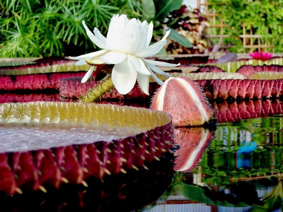 Растения. Внешний вид Victoria amazonica POEPP.