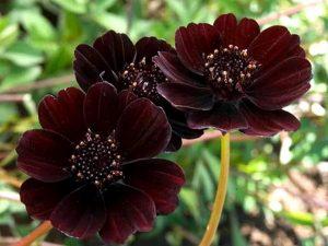Растения. Цветок Cosmos atrosanguineus (Hook.) Voss