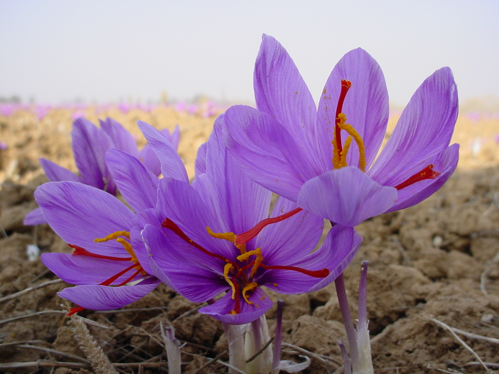 Цветы шафрана посевного